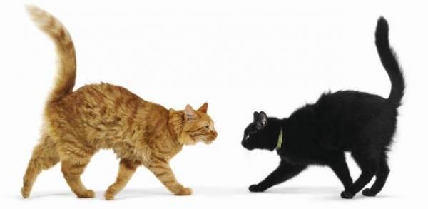 Veľký korisť tesný mačička
